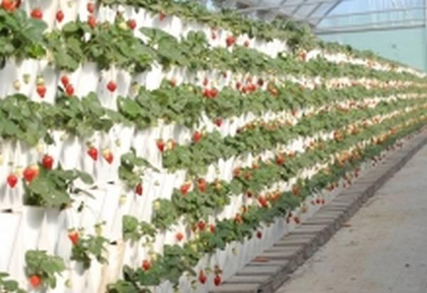 Клубника приспособления для выращивания 833